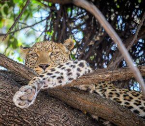 leopard, Sydafrika